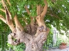 Tree_on_Terrace_of_Paterno_001