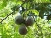 Figs_Villa_Paterno