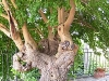 Tree_Villa_Paterno