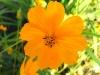 orange_cosmos